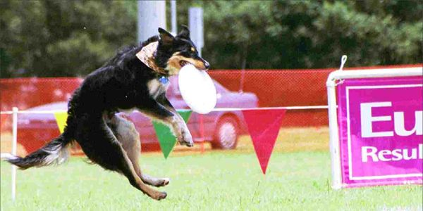 Tigereye owned by Damian Noud founder of Canine Disc in Australia