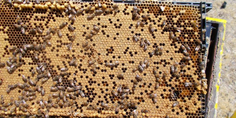a very HEALTHY colony frame filled with capped brood (babies) /Drones (bumps) at top, smooth female