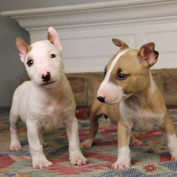 English bull terriers - white eye patch and red fawn coat