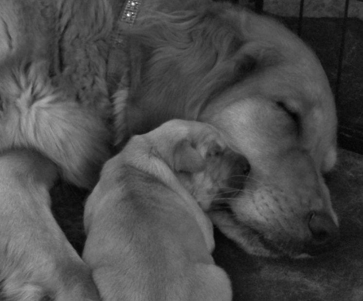 Tailwaggen - tailwaggen com, Golden Retriever Puppies