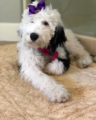 Southern Sheepadoodles - Sheepadoodle, Puppies, Puppies for Sale