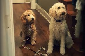 Nala - Goldendoodle puppy - In-home private training