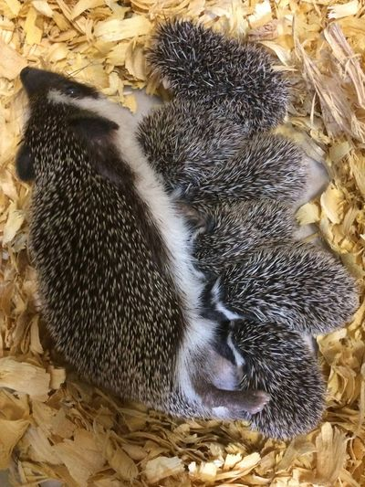 Hedgehogs for sale in Tuscaloosa Alabama hedgehog babies available for sale in AL