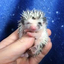 Available baby hedgehogs for sale in Tuscaloosa AL available adult hedgehogs for sale in Alabama