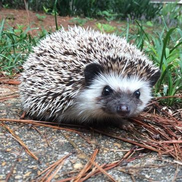 Available hedgehogs for sale in Tuscaloosa AL hedgehogs for sale