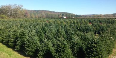 Choose N cut your own christmas tree in Warren county pa tractor horse drawn wagon rides fraser fir