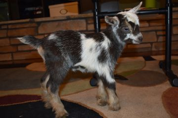 nigerian dwarf kid goat colorado Purple Mountain Minis purplemountainminis.com