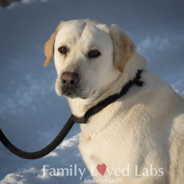 English White Labrador retrievers for sale - Family Loved Labs