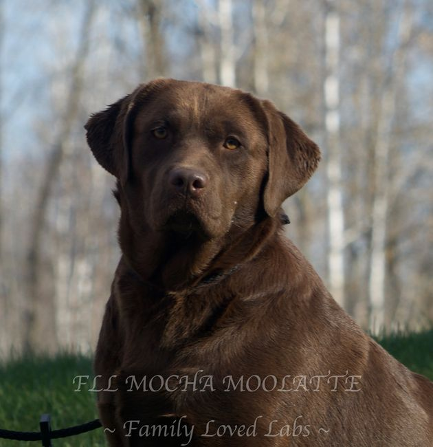 English Labrador Family Loved Labs Family Loved Labs