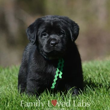 Puppies Available   Family Loved Labs