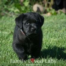Family Loved Labs English Lab Puppies For Sale