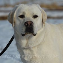 White English Lab puppies available. Therapy dog, service dog, scent detection dog, family dog