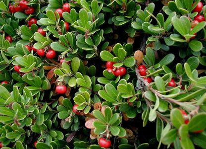 Uva Ursi Leaf/Bearberry was well-known to the Native Americans, who smoked the leaves either alone o