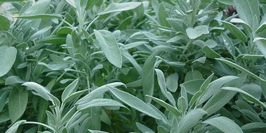 SAGE SAGE EVERYWHERE  WE PLANT A LOT OF ORGANIC  SAGE ONE OF OUR BESTHERBS AT HIGHWINDS HERBS
