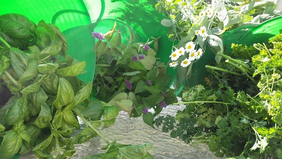 Highwinds Herbs all organic or wildcrafted picked here at our farm basil, hyssop, feverfew, parsley+