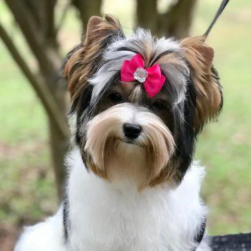 Brynstar Yorkies and Biewer Terriers - Yorkie and Biewer Puppies