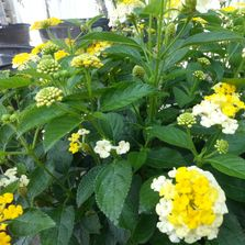 butterfly lantana nursery plants flowers trees shrubs soil mulch fertilizer landscaping color blooms
