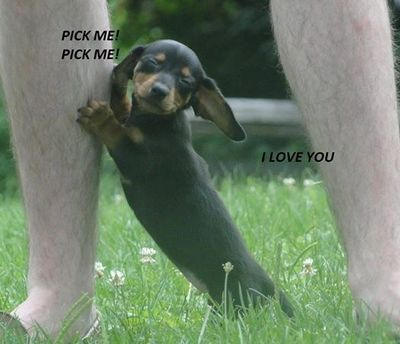 Dachshund puppy adorable caption