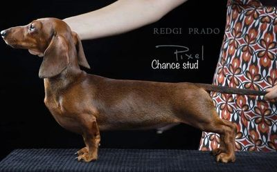 Akcdachshundny's Chance Mini red Dachshund Dachshund puppies for sale in Nys