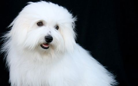 Coton De Tulear bred by Daydreaming Cotons