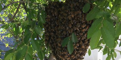 Buy Local Swarm of Bees