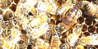 Washington and Bakersfield Queen Bees For Sale