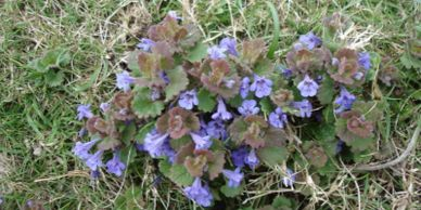 Ground Ivy | Cheeping Charlie