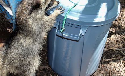 baby raccoon with garbage can