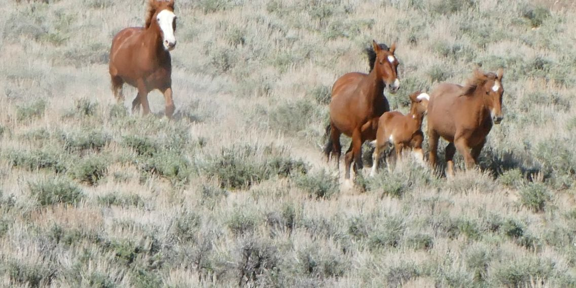 Why A Bait And Trap Wild Horse Warriors For Sand Wash Basin