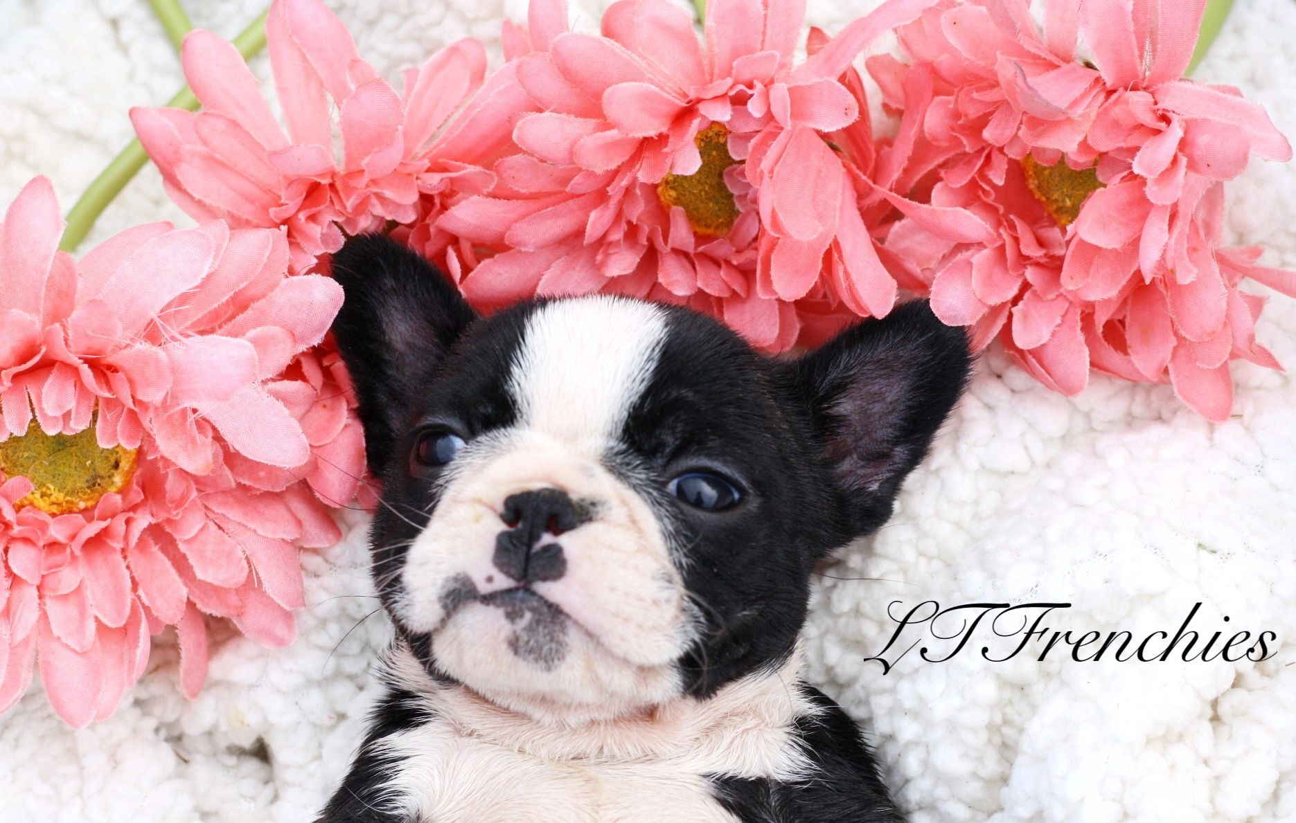 Ltfrenchies French Bulldogs Frenchies Puppies For Sale