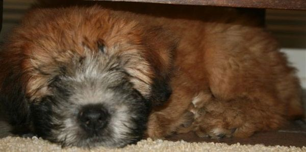 Soft Coated Wheaten Terrier Puppy in Texas
