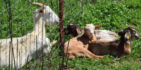 Welcome to Tennessee Kiko Farm ... We Got Your Goat!