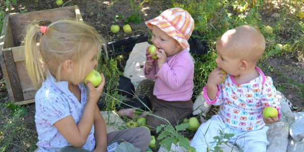 Children enjoy fresh apples as their family harvests apple trees.