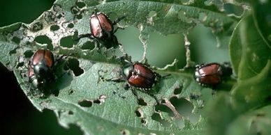 Japanese beetles will chew up both leaves and flowers as they feed