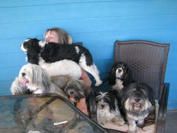 Happy family Havanese and Cavaliers