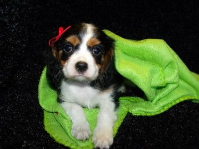 Tri Cavalier Puppy for sale
