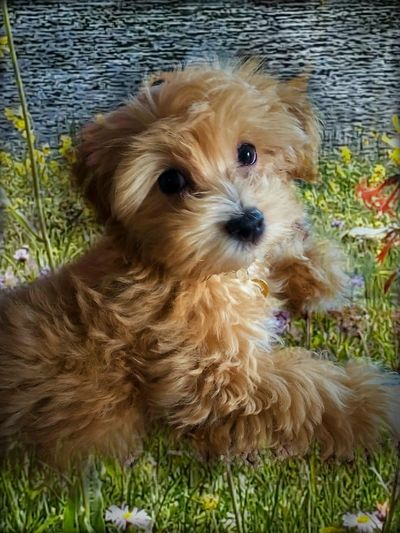 Cottonwood puppies Havanese Puppies For sale Colorado