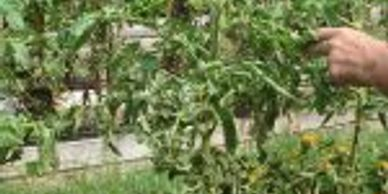 Tomato Spotted Wilted Virus treated with Vita