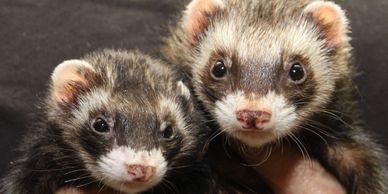 Broward Ferret Rescue Inc