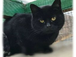 SEX: Male Neutered  AGE: Adult  COLOUR: Black short haired  Sidney is a lovely boy but he can someti