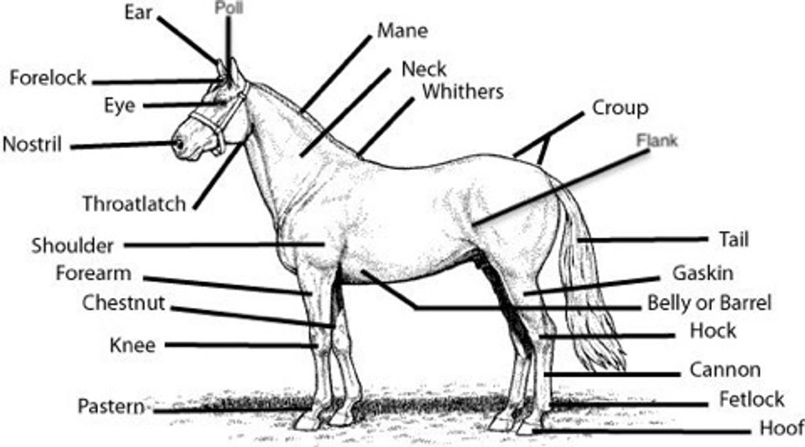 Horse Anatomy Tack 101 Goldstar Stables