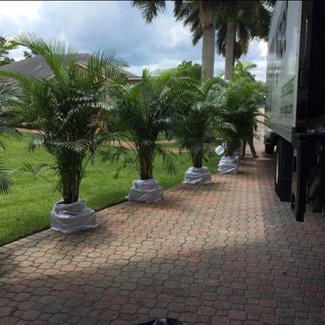areca palm, south florida, tropical plant rental, event plant rentals in Fort Lauderdale, Florida.