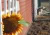 Sunflowers are in bloom at Boothbay Canine!