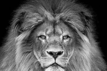 Our fosters may not look like this, but never doubt that they are just as fierce. This is the picture of a beautiful male lion with a full mane and a look of determination on his face.  Our foster families are just as determined to care for their charges and find GREAT homes for them when they are ready to leave. Never mess with a foster mom...