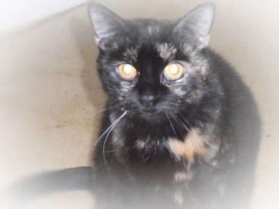 This is Cookie a candidate to become a Guardian Angel cat for Melrose Humane Society.