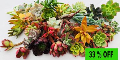 Succulent, succulents, succulent cuttings, succulent cuttings for sale, chopstick and succulents
