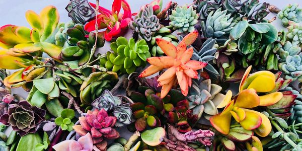 Succulent, succulents, succulent cuttings for sale, succulent arrangements