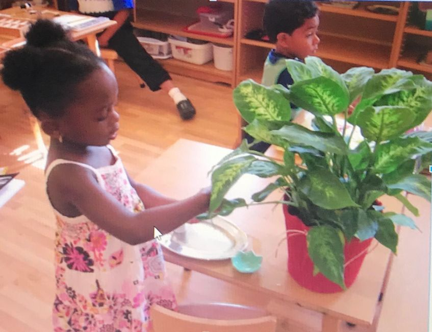 A child in a Montessori Primary (3-6) environment washing leaves on a plant for Practica Life