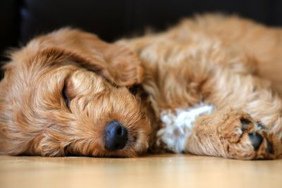 Mini Labradoodle Puppies for sale is sleeping
