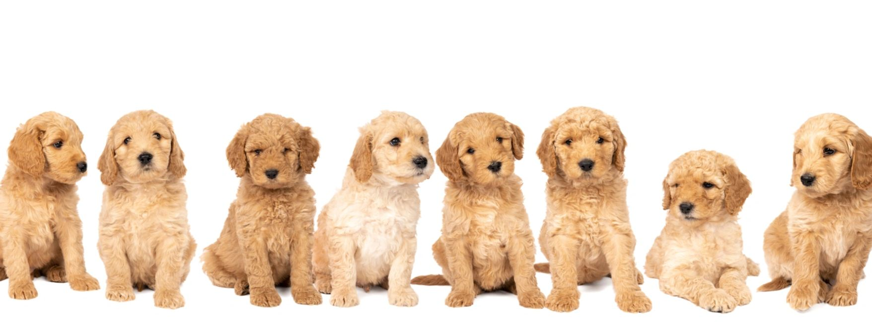 Pure Designer Breed English Mini Labradoodle puppies for Sale